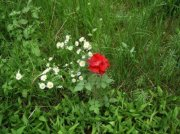 3269317-red-rose-and-camomile-flowers-in-green-grass-wild-flowers-in-green-field--stock-photo