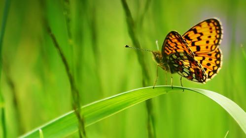 fritillary_butterfly_sitting_blade_green_grass_20120815